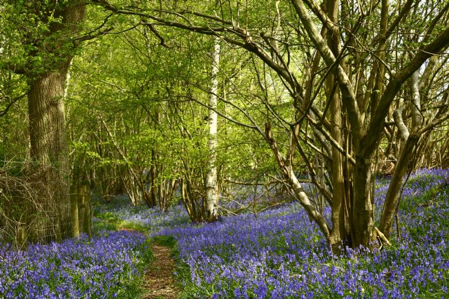 James Brunker | Footpath Through Bluebell Woods Kent