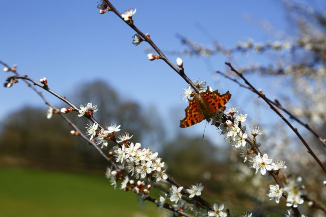 James Brunker | Comma Butterfly on Blackthorn Flowers