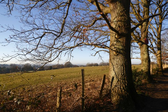 James Brunker | Winter Oak Trees Along the Wealdway Footpath Kent