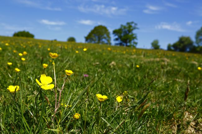 James Brunker | Buttercups in Wealden Meadow