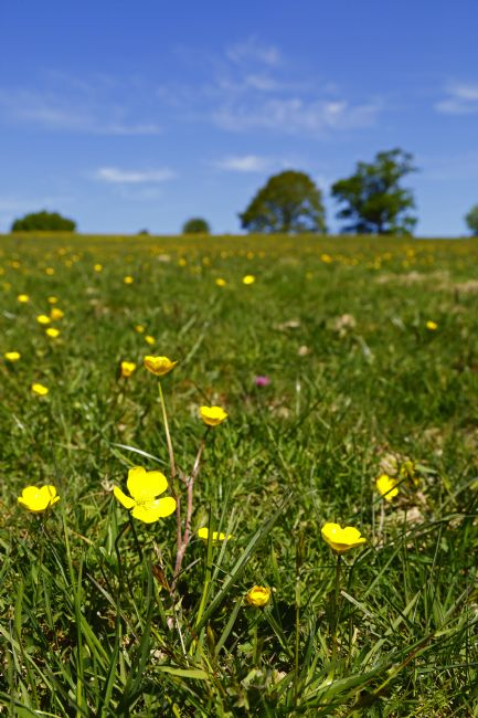 James Brunker | Buttercup flowers in Wealden Meadow