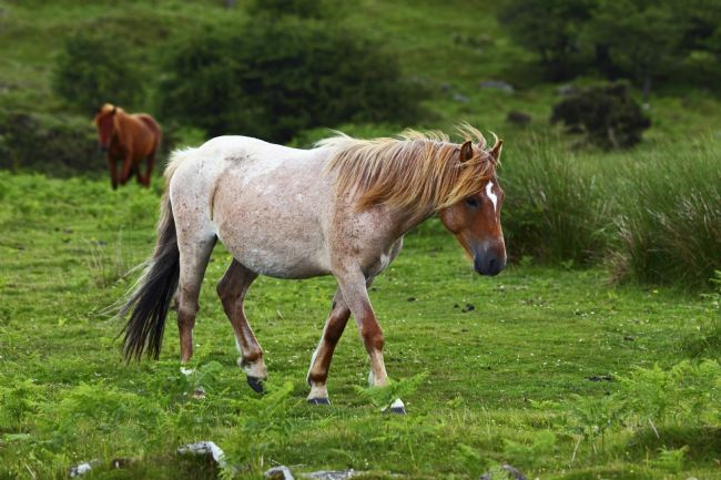James Brunker | Bodmin wild pony portrait