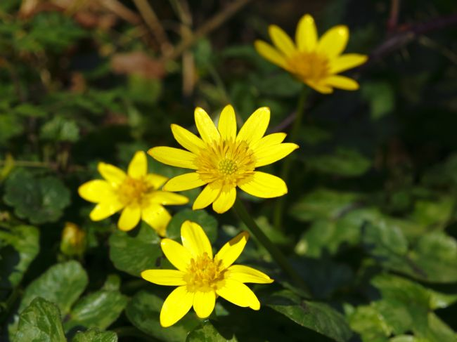James Brunker | Golden Lesser Celandine Flowers
