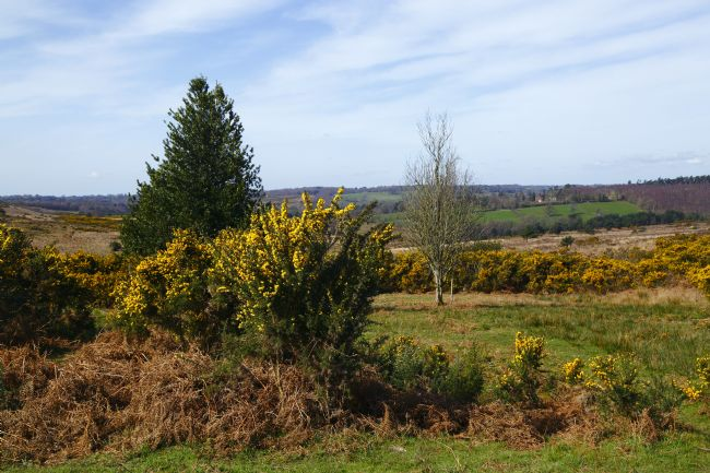 James Brunker | Gorse and Bracken Ashdown Forest East Sussex