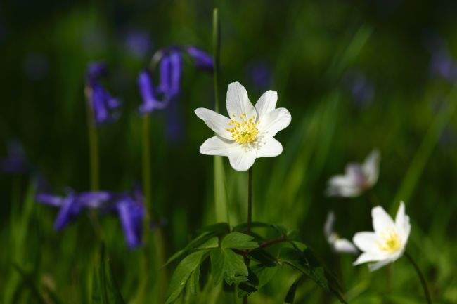 James Brunker | Wood anemone in flower