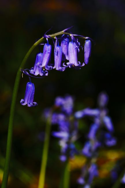 James Brunker | English bluebell Close Up