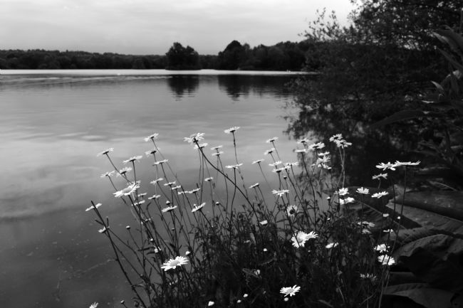 James Brunker | Ox-eye Daises and Haysden Water in Black and White