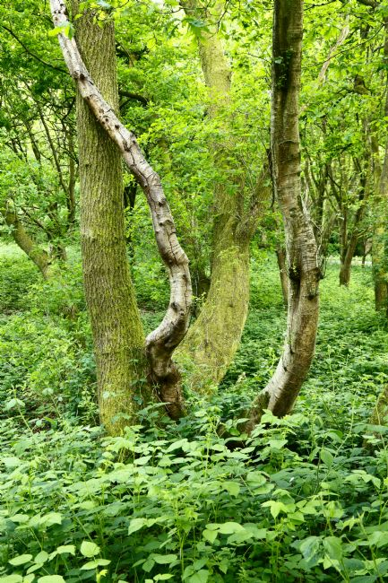 James Brunker | Birch and Oak Trunks Southborough Common Kent