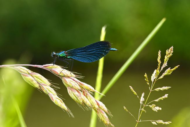 James Brunker | Male Beautiful Demoiselle damselfly
