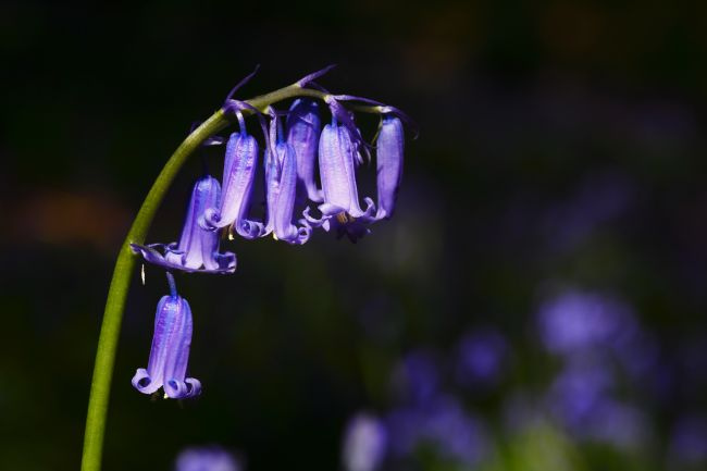 James Brunker | Common bluebell Close Up