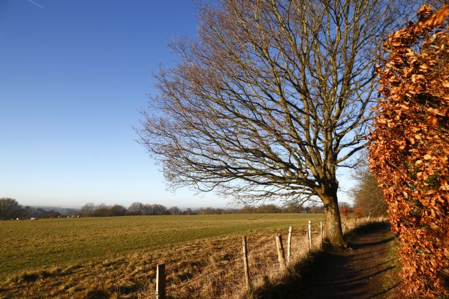 James Brunker | Oak Tree and Copper Beech Hedge on High Weald Walk Kent