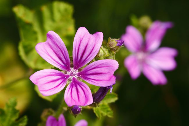 James Brunker | Common Mallow Flower Close Up