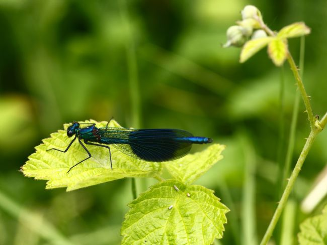 James Brunker | Banded Demoiselle damselfly