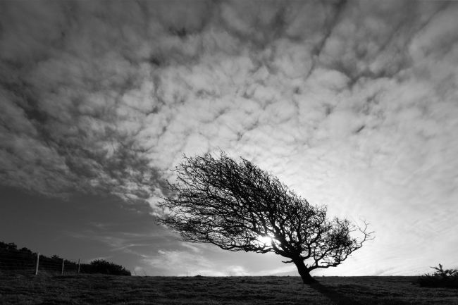 James Brunker | Windswept Blackthorn Tree Black and White