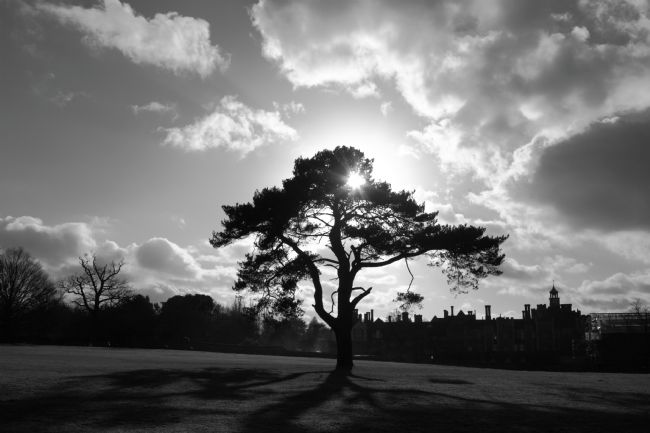 James Brunker | Pine Tree Silhouette in Black and White Knole Park Kent