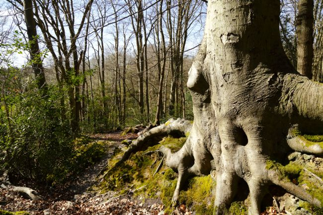 James Brunker | Beech Tree Roots in Whortleberry Wood Southborough Common