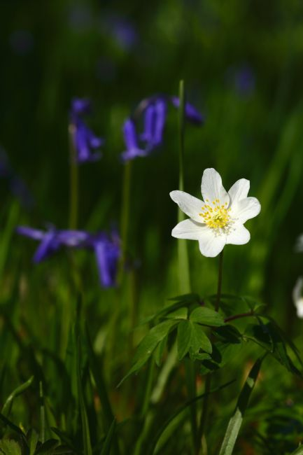 James Brunker | Wood anemones and bluebells in flower