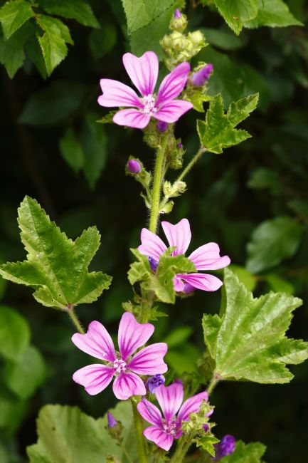 James Brunker | Common Mallow Plant in Flower