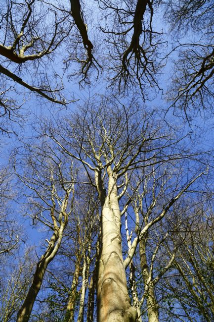 James Brunker | Beech Trees in Whortleberry Wood Southborough Common