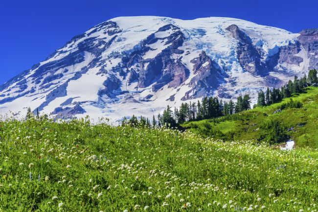 William Perry | Bistort Wildflowers Paradise Mount Rainier National Park Washing