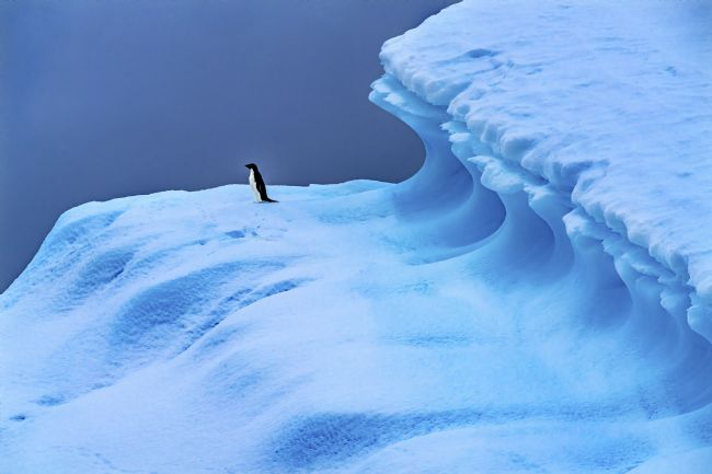 William Perry | Adelie Penguin Blue Iceberg Closeup Charlotte Bay Antarctica