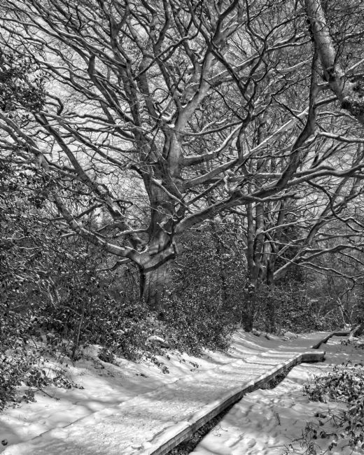Rob Cole | Winter Woodland, Thornley Woods