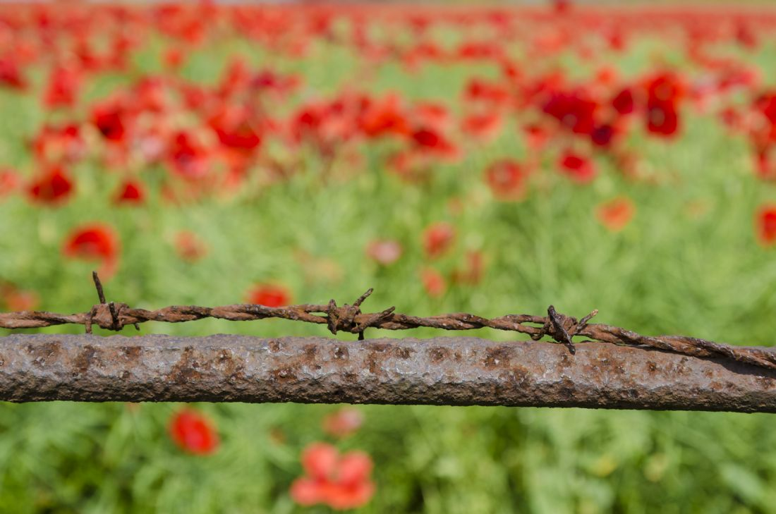 Steve Stamford | Barbed wire and poppies