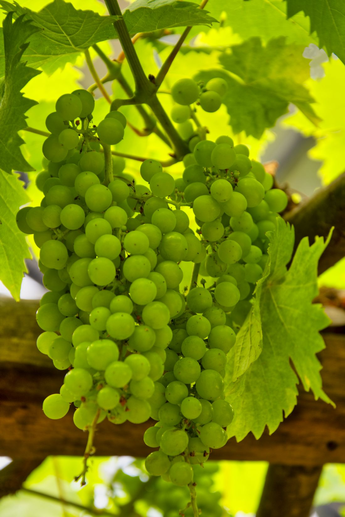 Steve Stamford | Grapes on the vine
