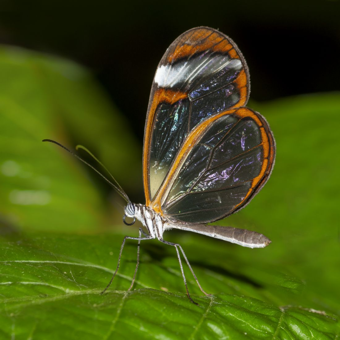Steve Stamford | Glasswing butterfly