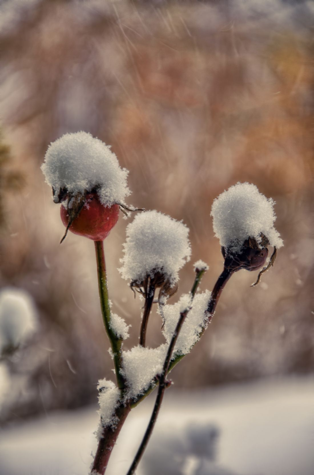 Steve Stamford | Rose hip and snow