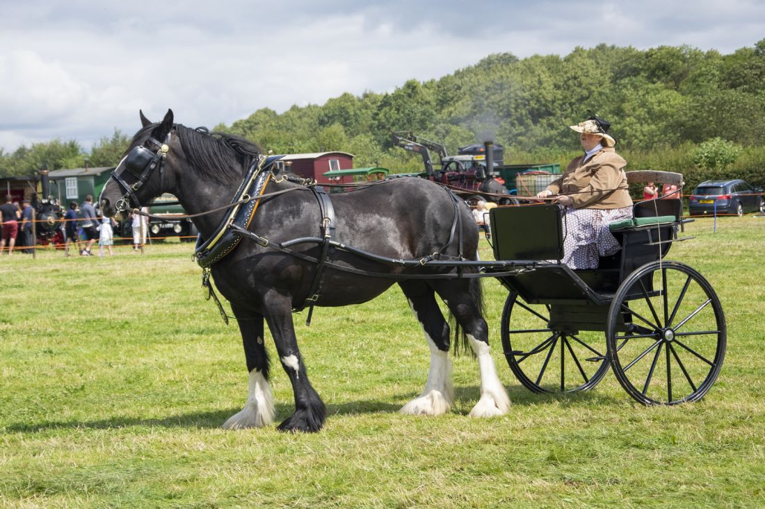 Steve Stamford | Shire horse and lady cart
