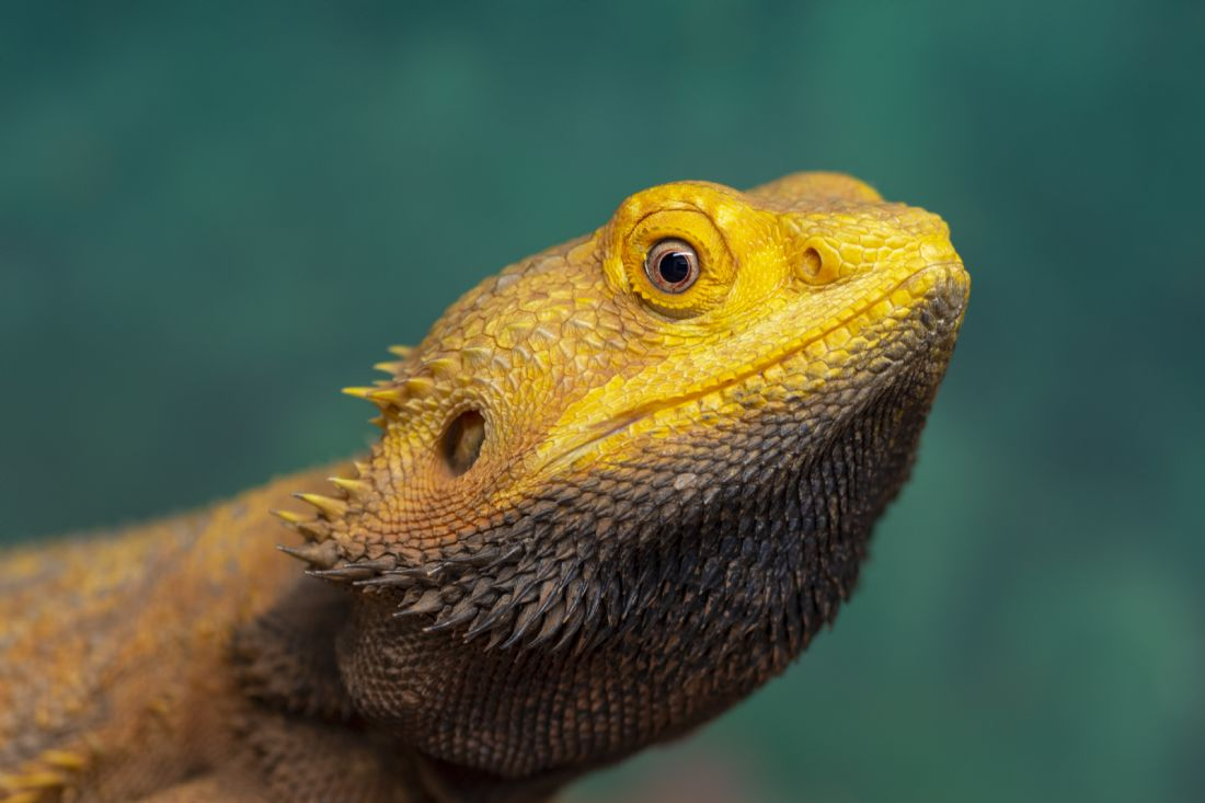 Steve Stamford | Bearded Dragon 2