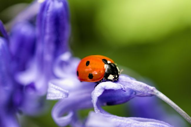 Steve Stamford | Ladybird on Bluebell