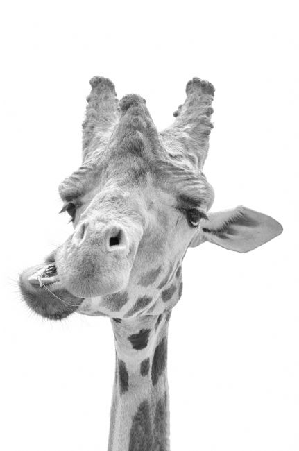 Steve Stamford | Giraffe in black and white