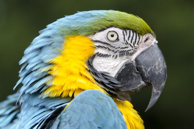 Steve Stamford | Blue and gold macaw