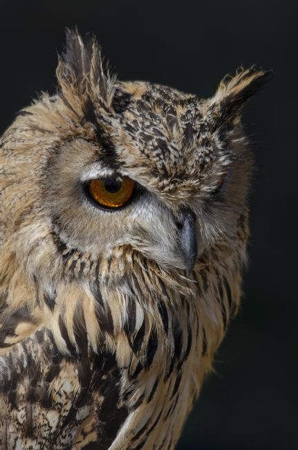 Steve Stamford | Bengal Indian Eagle Owl