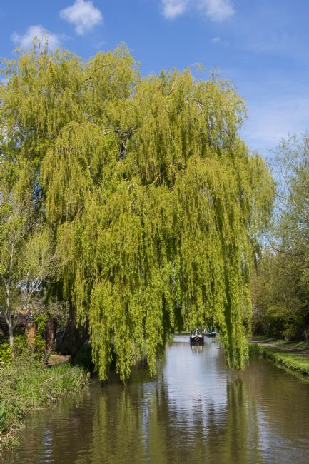 Steve Stamford | Arch through the willow 2