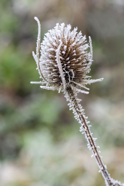 Steve Stamford | Winter on a teasel