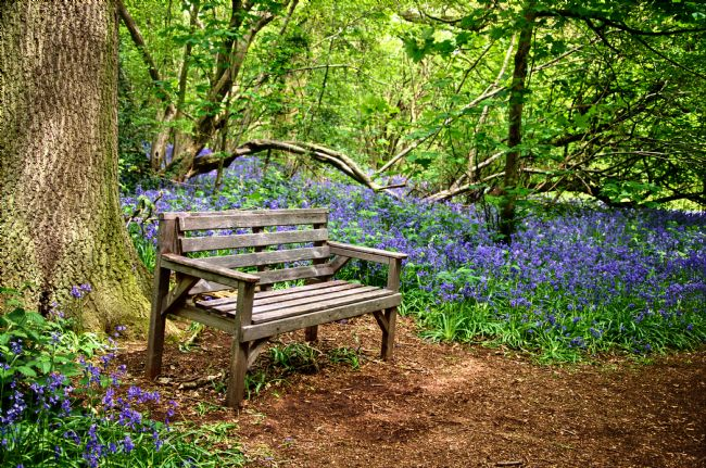 Steve Stamford | Seat in the bluebell woodland
