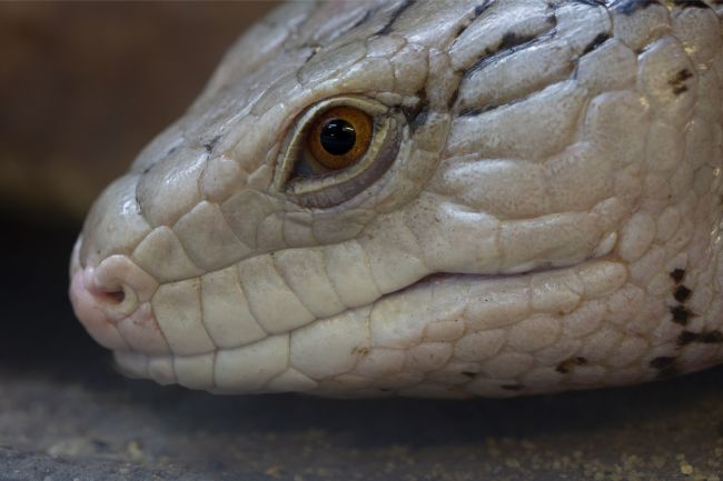 Steve Stamford | Eastern Blue Tongued Skink