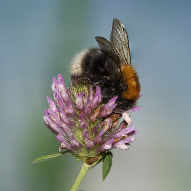Steve Stamford | Bee on clover 1