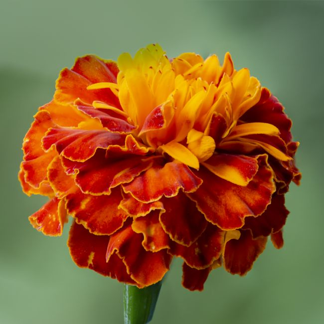 Steve Stamford | Orange Marigold