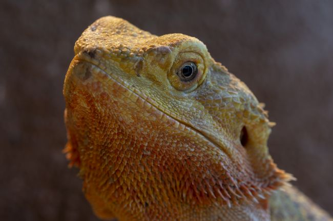 Steve Stamford | Bearded Dragon 1