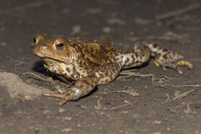 Steve Stamford | Common toad facing left