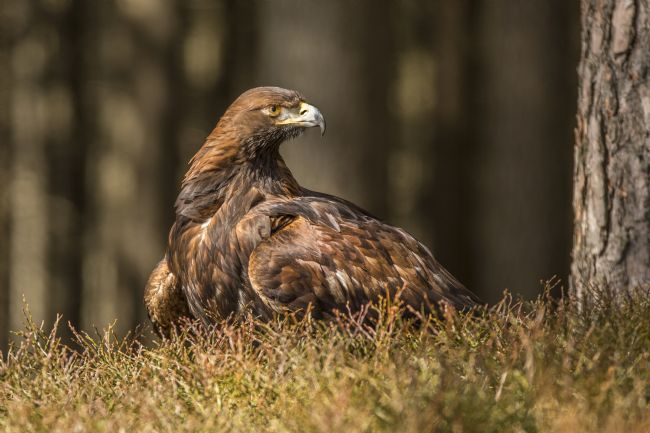 David Hare | Golden Eagle