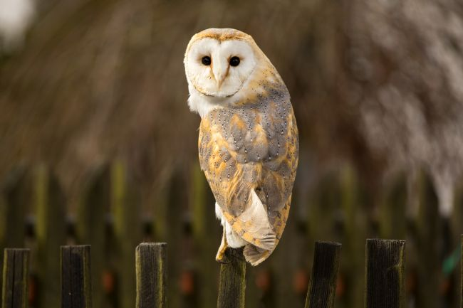 David Hare | Perched Barn Owl