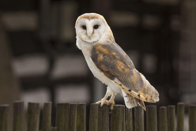 David Hare | Barn owl