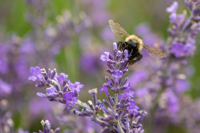 Hannah Temple | Bee on lavender