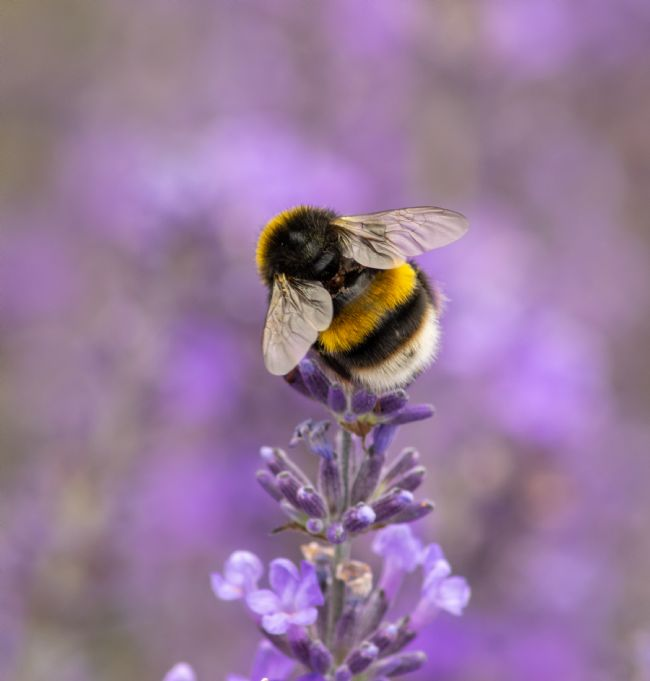 Hannah Temple | Bumble bee on lavender