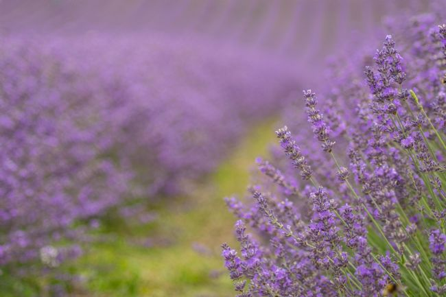 Hannah Temple | Lavender Fields